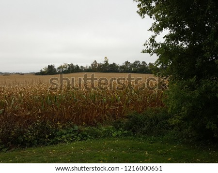 Cornfield with trees in the background.