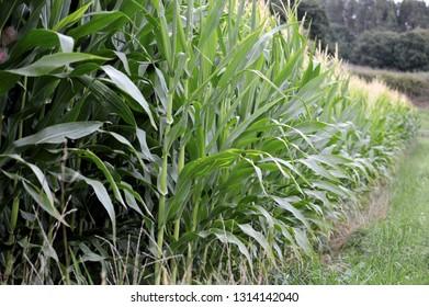 Cornfields in Cantabria
