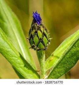 cornflower or bachelor's button (Centaurea cyanus or cyanus segetum) flowerbud