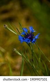 Cornflower, Centaurea cyanus, Asteraceae. Cornflower Herb or bachelor button flower in garden.