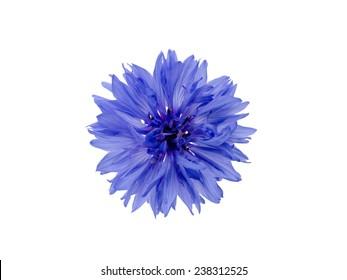 cornflower isolated on white background