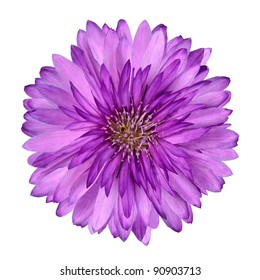 Cornflower like Pink and Purple Flower Isolated on White Background