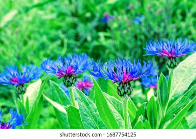 Cornflower mountain (Latin Centaurea montana) - a plant from the Astrovye family, or the Thistle family.
