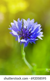 Cornflower on green grass background, beautiful bluebottle flower in garden, macro