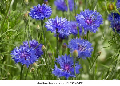 cornflowers and aster in a meadow