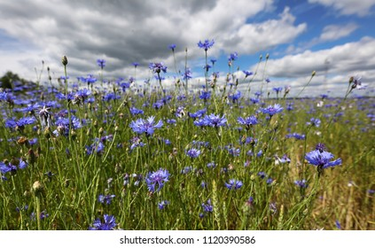 Cornflowers bloom on the summer field