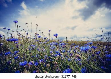 Cornflowers filed