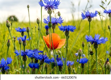 Cornflowers in front of a cereal field with red poppies
