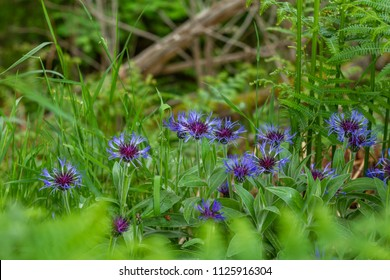 Cornflowers growing wild at the roadside in Foyers, above Loch Ness, Scotland