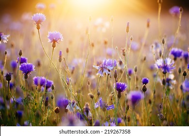 Cornflowers and light of the sunrise.