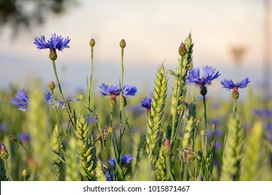 Cornflowers in meadow, field