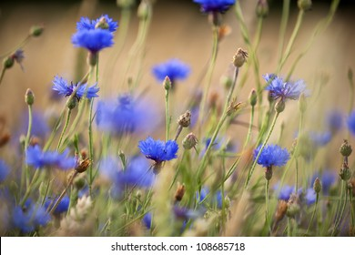 Cornflowers on a meadow, shallow depth of field