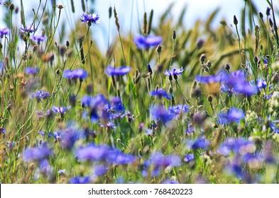 cornflowers on a wheat field