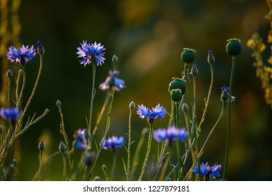 Cornflowers and poppies on a green grass. Blooming flowers. Meadow with cornflowers and poppies. Wild flowers. Nature flower. Poppy seed boxes on field.