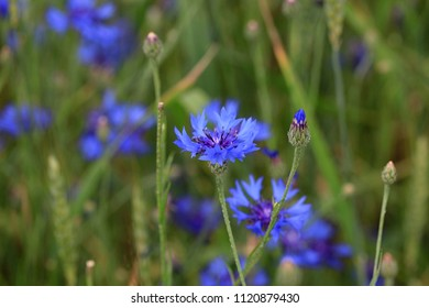 Cornflowers in summer field in green grass