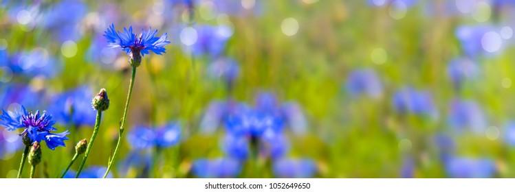 cornflowers in summertime banner background