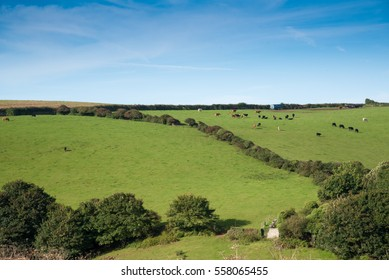 Cornish landscape with fields and meadows and a flock of cows near Port Isaac.
