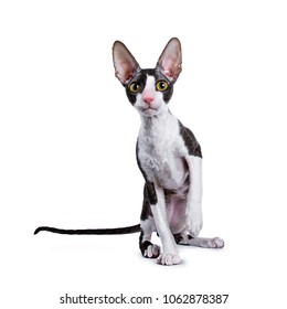 Cornish Rex cat / kitten sitting facing camera and looking curious in lens wit one paw lifted isolated on white background