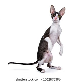 Cornish Rex cat / kitten standing on back paws / jumping isolated on white background looking at lens