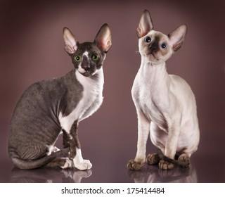 Cornish rex kitten, 3 months - Shutterstock ID 175414484
