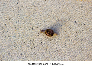 Cornu aspersum,  garden snail, is a species of land snail a  terrestrial pulmonate gastropod mollusc in the family Helicidae,  crossing the cycleway on a fine spring morning.