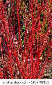 Cornus alba 'Sibirica' shrub with crimson red stems in winter and red leaves in autumn commonly known as Siberian dogwood, stock photo image