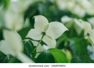 Cornus capitata is a species of dogwood known by the common names Bentham's cornel, evergreen dogwood, Himalayan flowering dogwood, and Himalayan strawberry-tree.