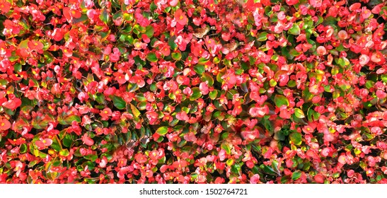Cornus florida Flowering dogwood  Native Plants city flowers pink red green floral background Virginia Dogwood