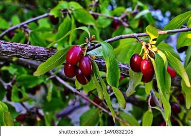 Cornus fruit .Dogwood berries are hanging on a branch of dogwood tree.