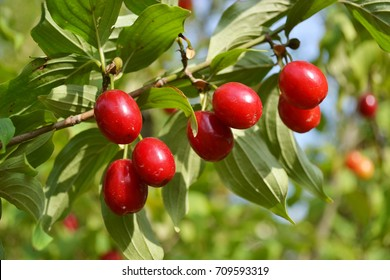 Cornus fruit .Dogwood berries are hanging on a branch of dogwood tree. Cornel, Cornelian Cherry Dogwood. Horizontal