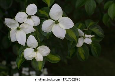 Cornus kousa, commonly called Japanese dogwood, Kousa, and Kousa dogwood in bloom. Kousa dogwood is an excellent small specimen tree.  Four-petaled, white flower.