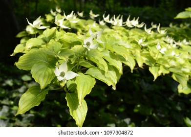 Cornus kousa - decorative deciduous tree with white petal-like bracts