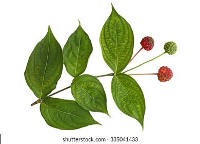 Cornus Kousa Dogwood Fruit and Leaf isolated on white background