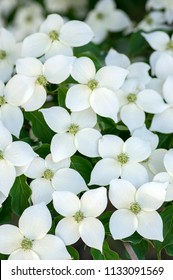 Cornus kousa ornamental and beautiful flowering shrub, bright white flowers with four petals on blooming branches, green leaves