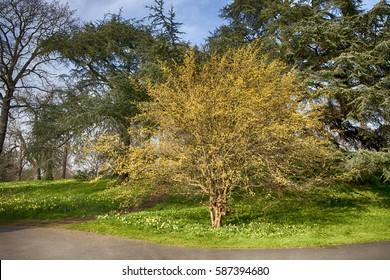Cornus mas, Cornelian Cherry, in flower in botanical garden