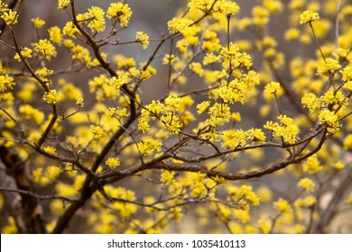 Cornus mas yellow flowers blossom in seoul