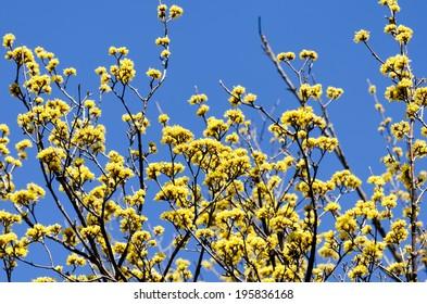 Cornus officinalis. bloom in the spring of Japan.