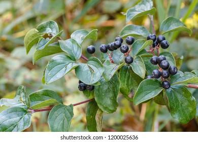 Cornus sanguinea. Bush in autumn with berries. Dogwood.