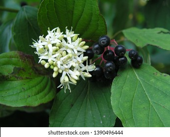 Cornus sanguinea, the common dogwood or bloody dogwood white flowers and black berries among the leaves. Honey and medicinal plants in Europe. drug plants