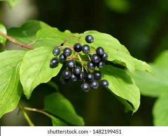 Cornus sanguinea, the common dogwood or bloody dogwood is a species of dogwood. Cornaceae family.