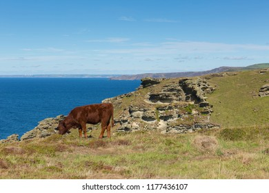 Cornwall coast with cow grazing between Tintagel and Boscastle in sunshine