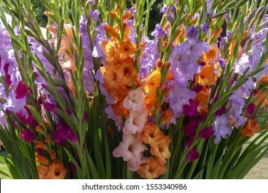 Coroful Gladiolus (Gladiolus) flowers, closeup