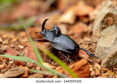 Coroico, Bolivia. Bettle bug crawling through the rocks and dirt.