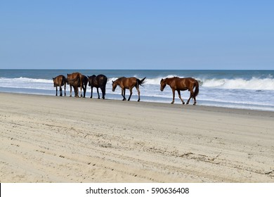 Corolla Beach (Outer Banks) North Carolina: The famous wild horses of Corolla in the OBX taking a stroll down the shoreline on a summer day. The stallion follows in the rear.