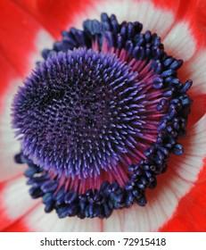 Coronaria Flower Centre (Anemone) Ranunculaceae - Macro Image