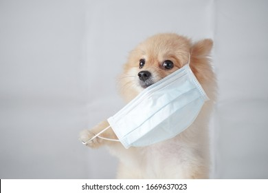 coronavirus concept, small dog breed or pomeranian with light brown hair sitting and wearing a anti pollution PM2.5 mask with white background. It feels uncomfortable so it trying to pull mask out