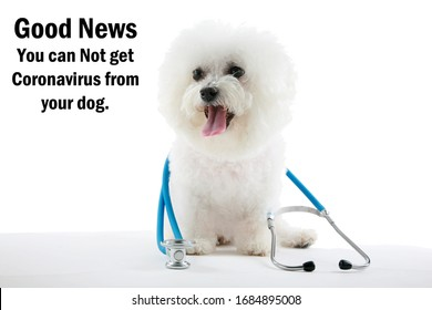 Coronavirus outbreak. COVID-19. A Bichon Frise Dog smiles and reminds you that you CAN NOT GET CORONAVIRUS19 from your Pet Dog. Love your dog today. Take them for a walk. Dogs are mans best friends.
