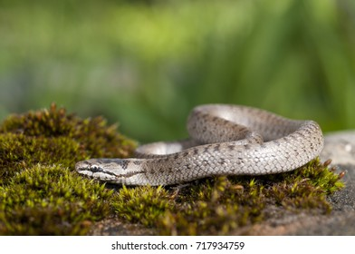 Coronella austriaca juvenile. Locality: Argentera (CN), Piedmont, Italy.