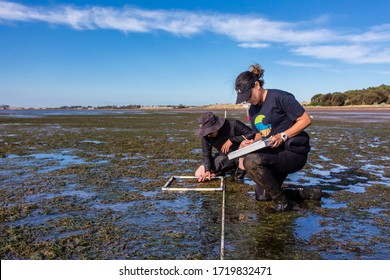 Coronet Bay, Victoria/Australia, 2020: Scientist studying distribution of seagrass at a coastal area during low tide.