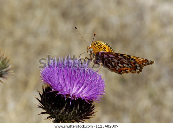 Coronis fritillary butterfly nectaring on purple thistle blossom